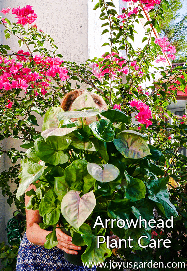 a woman holds an arrowhead plant syngonium in front of a red bougainvillea