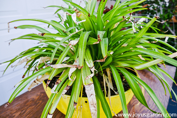 close up view of a stressed spider plant with brown tips & dead leaves