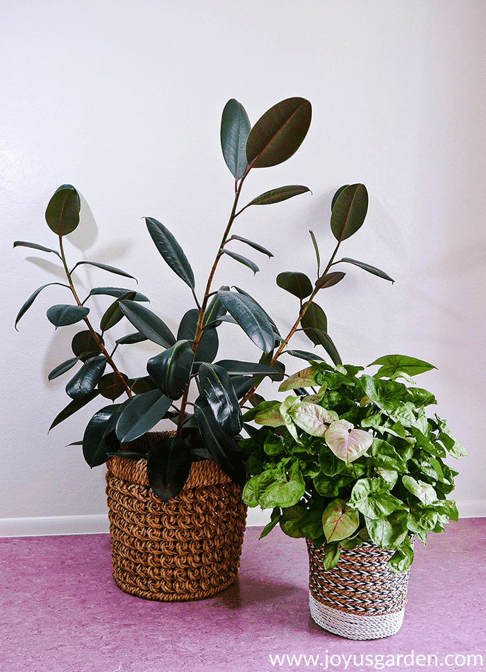 a large rubber plant in a basket grows next to an arrowhead plant in a basket