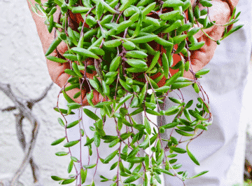 close up of a woman holding a ruby necklace trailing succulent