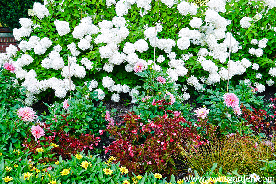 a flower garden with yellow classic zinnias deep pink begonias pink dahlias & white hydrangeas