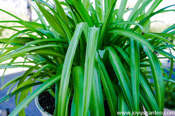 close up of a healthy green spider plant