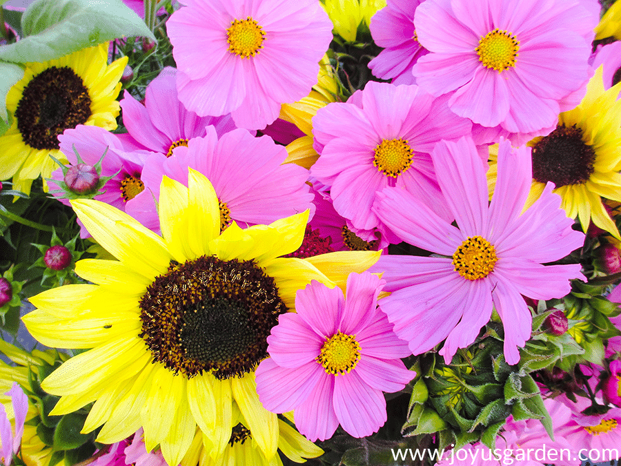 close up of a bouquet of yellow sunflowers & pink cosmos