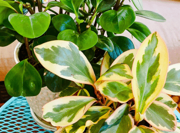 2 peperomias, 1 solid green & 1 variegated, sit on a patio table