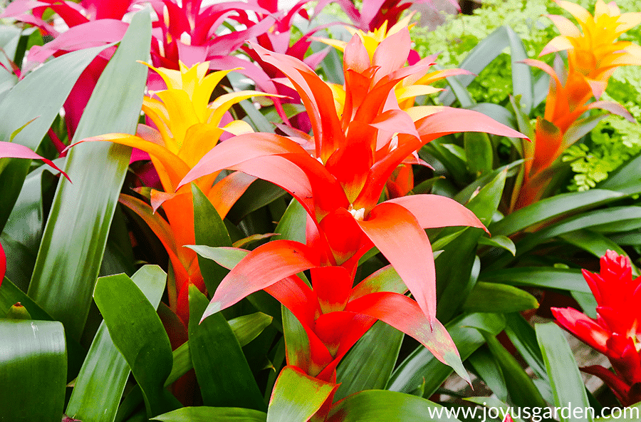 close up of orange red & yellow guzmania bromeliad flowers