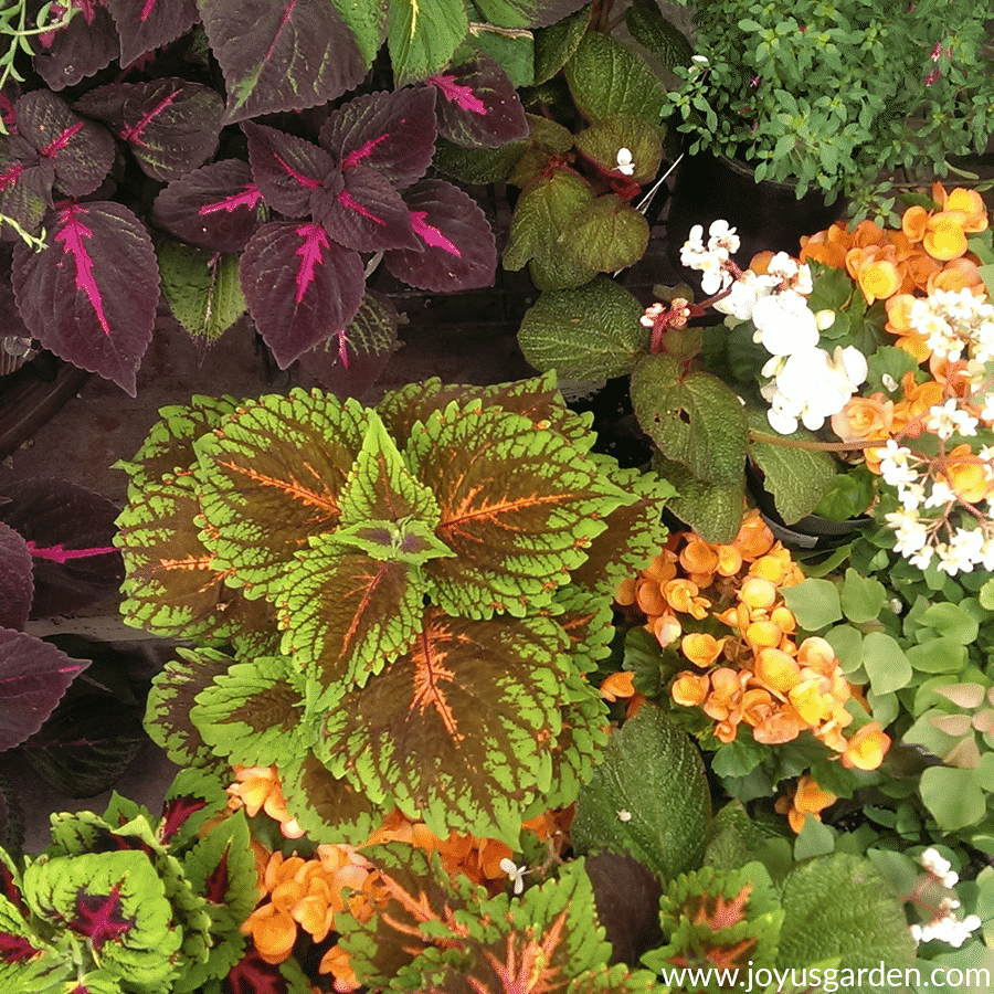 close up of a shade garden with different colors of coleus & begonias