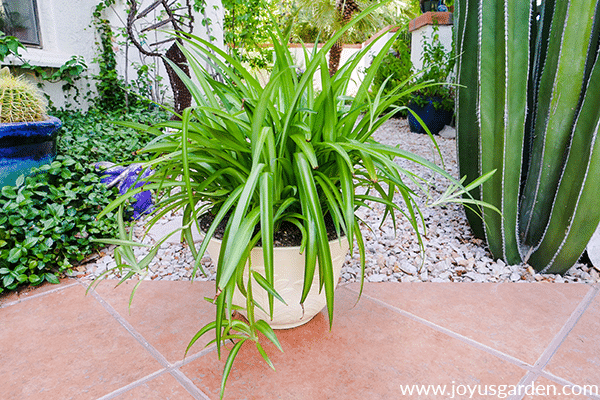 a healthy green spider plant in a light yellow pot sits outdoors on a walkway