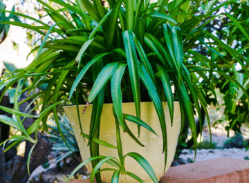 a green spider plant in a yellow pot sits on a wall outdoors