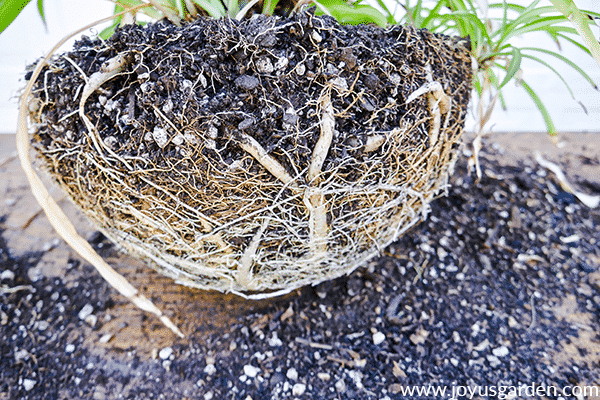 the exposed root ball of a spider plant
