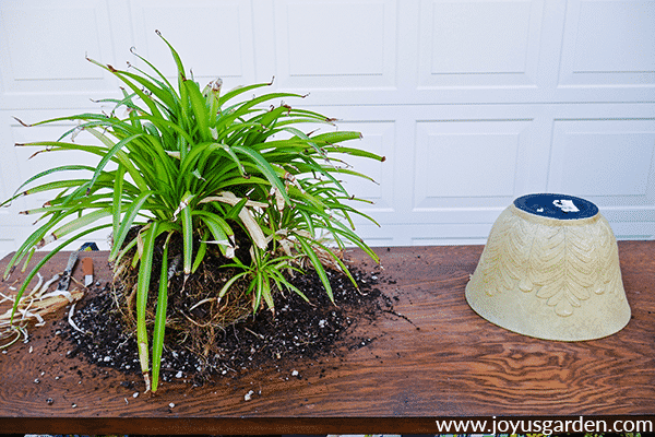 a green spider plant with its rootball exposed sits next to a decorative container on a potting table