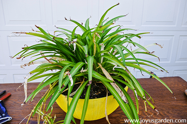 a partially green spider plant with lots of dead leaves sits on a potting table