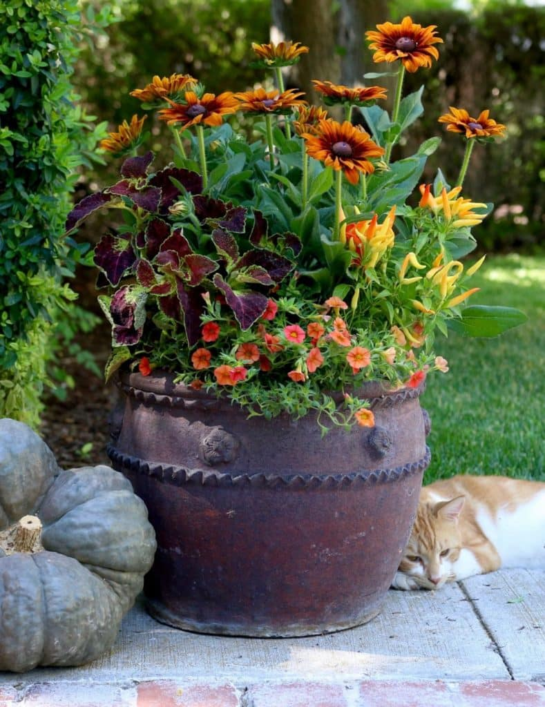 a rustic fall themed pot filled with coleus blanket flower ornamental pepper & caliobrachoa an orange & white cat lays next to it