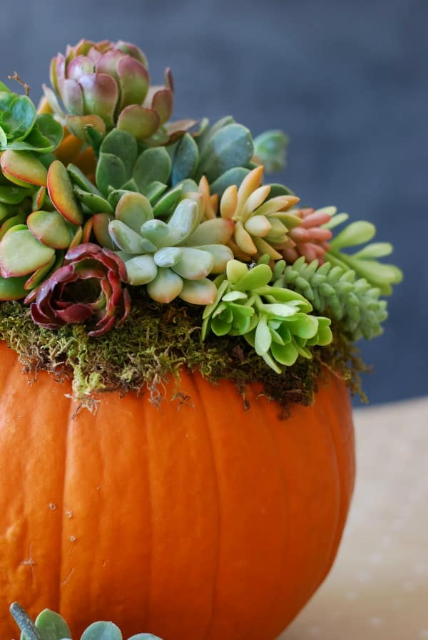 close up an orange pumpkin decorated with colorful succulents on the top