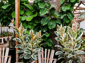 a large fiddleleaf fig & 2 variegated rubber plants sit behind a rustic table & chair set