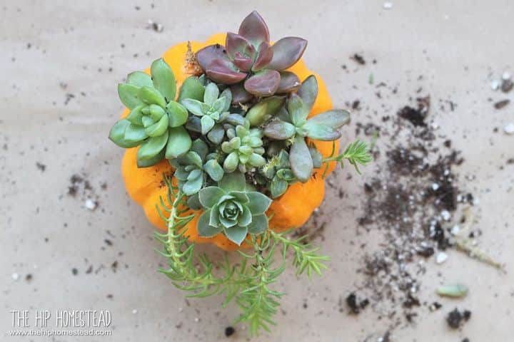 looking down on a small orange pumpkin with colorful succulents on the top