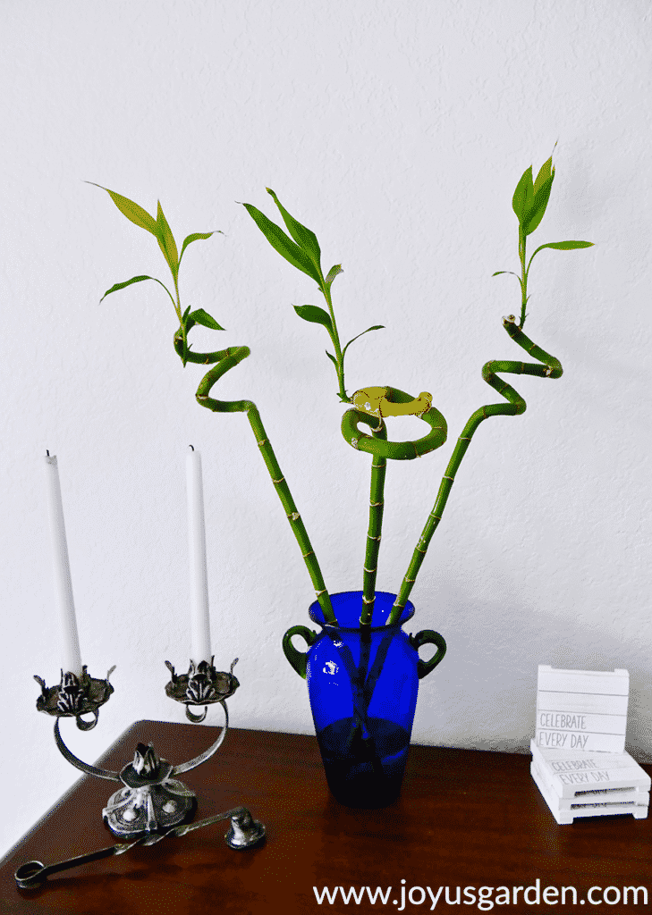 3 spiral stalks or canes of lucky bamboo dracaena sanderiana grow in a blue vase next to a candlestick