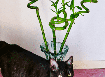 3 stalks or canes of lucky bamboo dracaena sanderiana in a clear vase sit ion the floor behind a grey cat