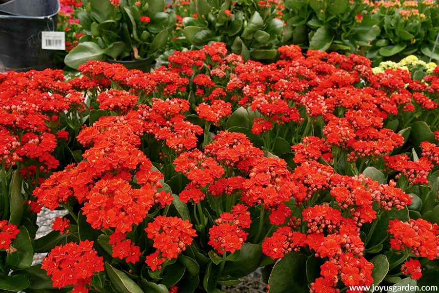 close up of many bright red kalanchoes in bloom