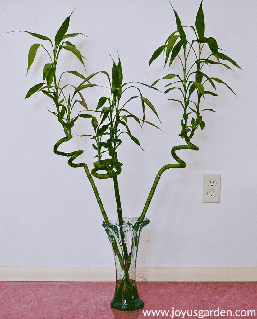 3 stalks of spiral lucky bamboo dracaena sanderiana with tall stems in a clear vase sit on the floor