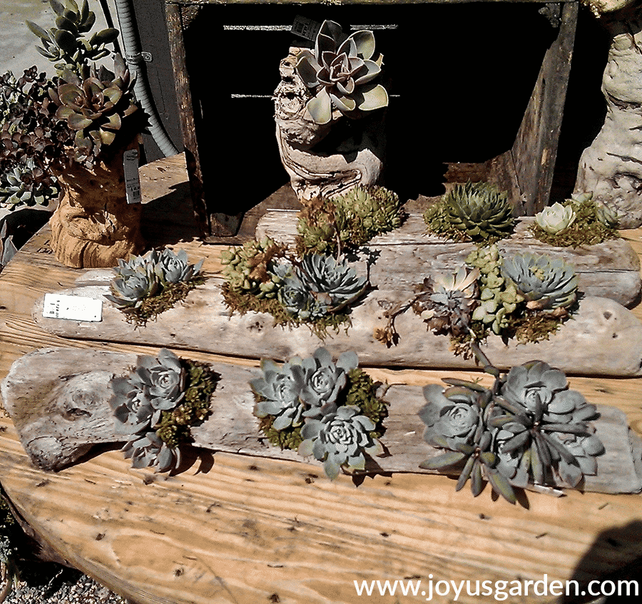 succulents planted in driftwood at roger's gardens