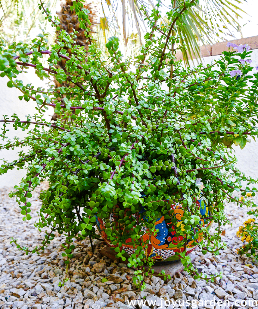 a solid green elephant bush portulacaria afra grows in a large talavera ceramic pot