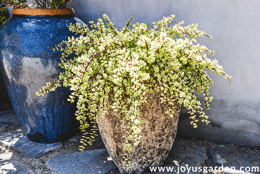 a large variegated elephant bush portulacaria afra grows in a tall earth colored ceramic urn