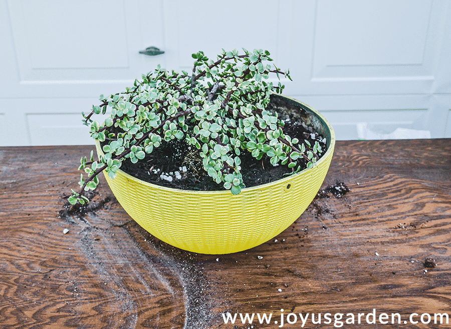 a variegated elephant bush portulacaria afra sits in a bright yellow pot on a potting table