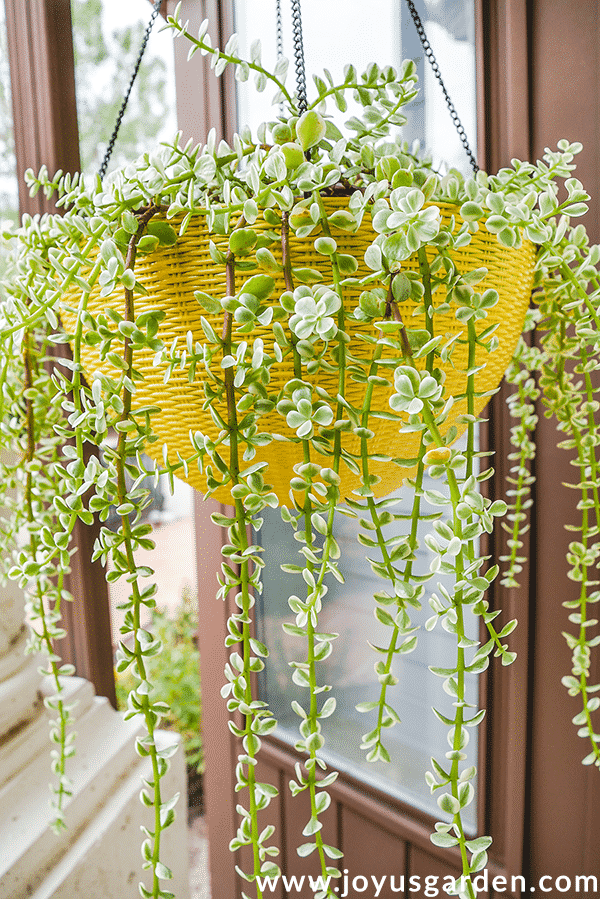 Repotting Portulacaria Afra (Elephant Bush): A Beautiful Hanging Succulent