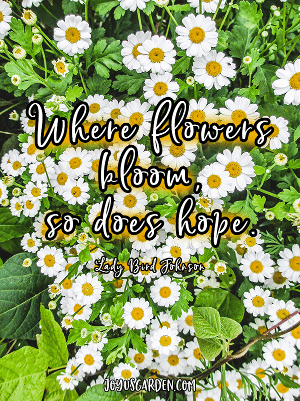 small white & yellow daisies with the quote where flowers bloom so does hope
