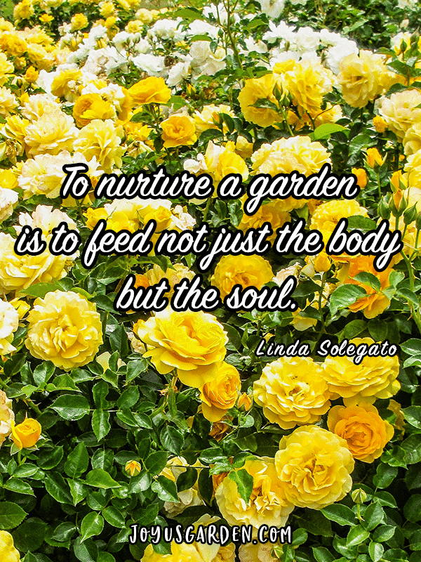 many yellow rose bushes with the quote to nurture a garden is to feed not just the body but the soul