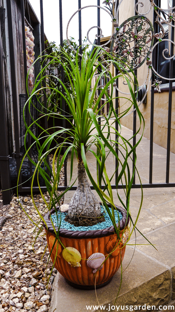 a 3' ponytail palm plant grows in a pot decorated with colorful seashells