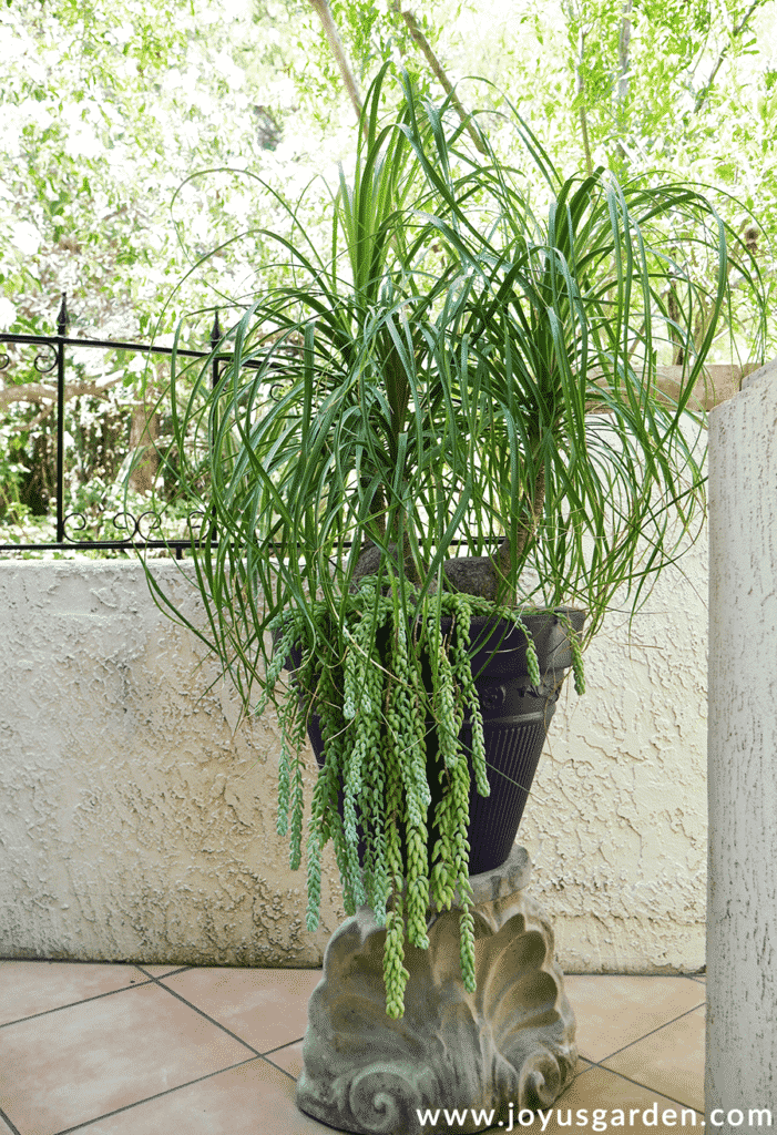 a large 3 trunked ponytail palm grows outdoors in a pot underplanted with burros tail succulents