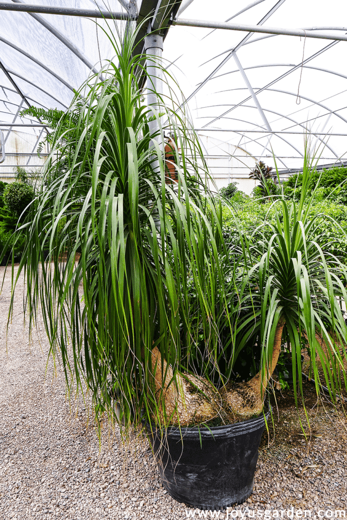 Ponytail Palm Care Beaucarnea Recurvata Joy Us Garden
