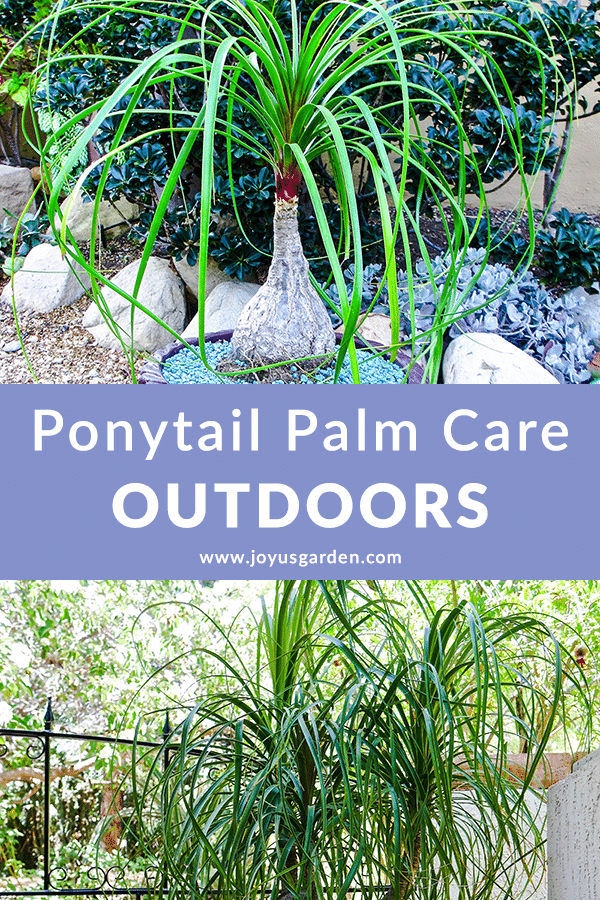 a collage with 2 ponytail palms beaucarnea recurvatas growing outdoors the text in the middle reads ponytail palm care outdoors