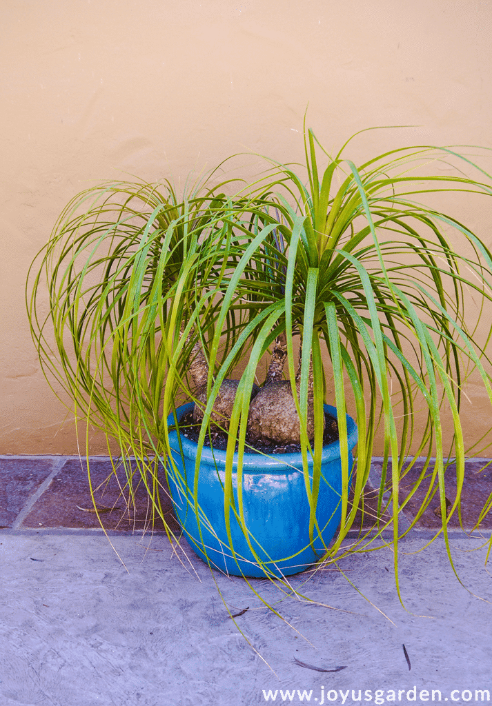 a 3-headed ponytail palm plant grows in a bright blue ceramic pot