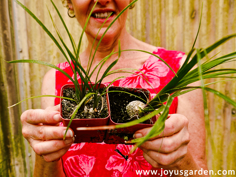 nell foster of joy us garden holds 2 small ponytail palm plants in 2 small pots