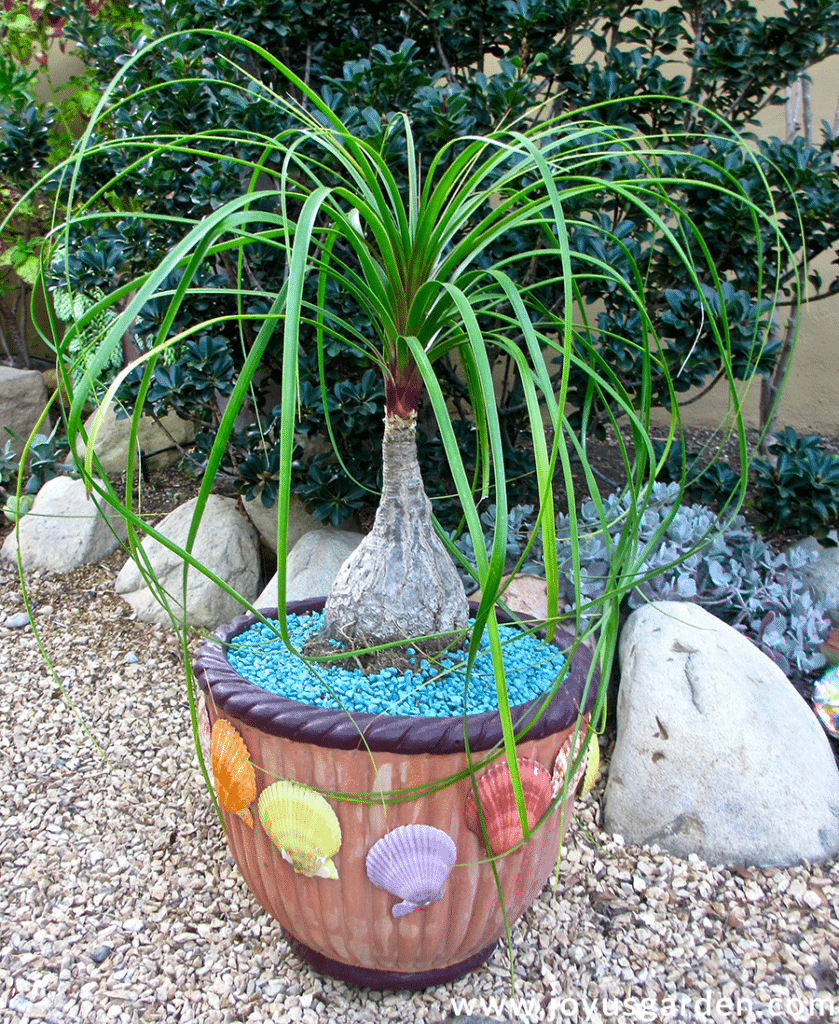 a ponytail palm grows outdoors in a terra cotta pot decorated with colored shells