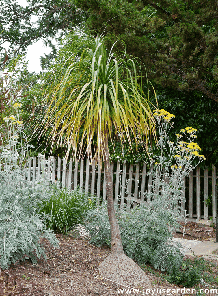 a tall ponytail palm beaucarnea recurvata with yellowish leaves grows  in a garden
