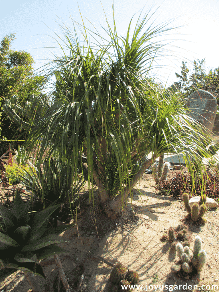 a large specimen ponytail palm beaucarnea recurvata grows in a desert garden