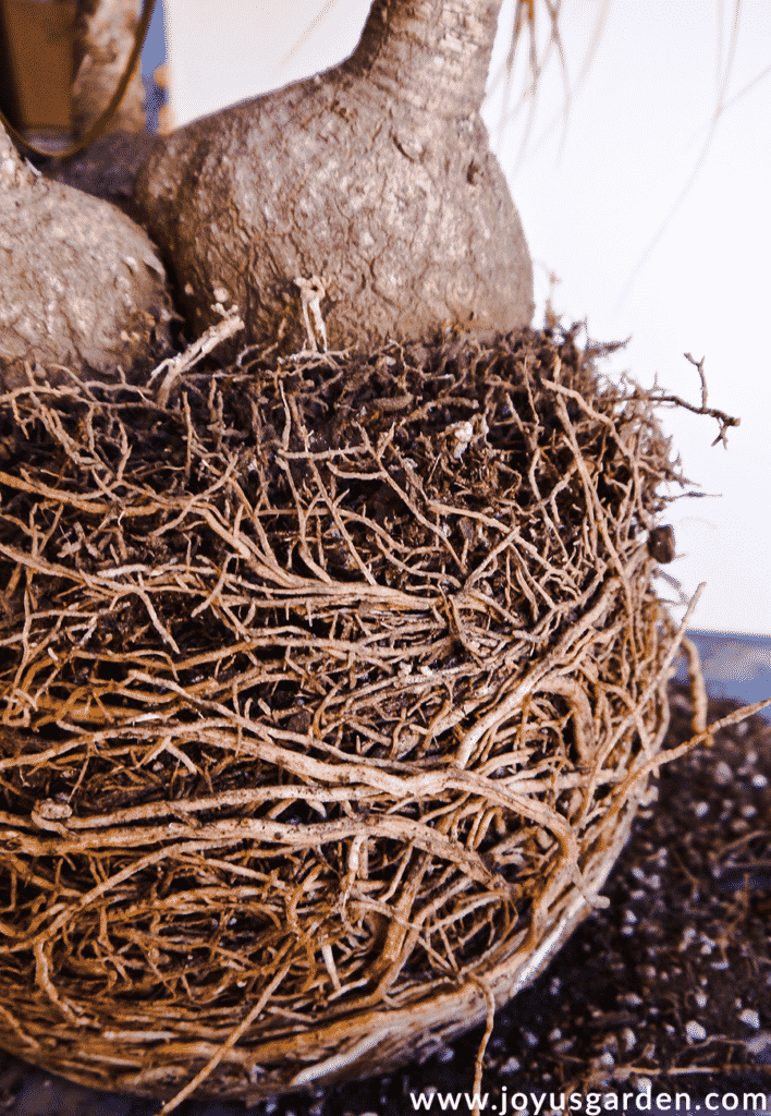 close up of the roots of a potbound ponytail palm plant