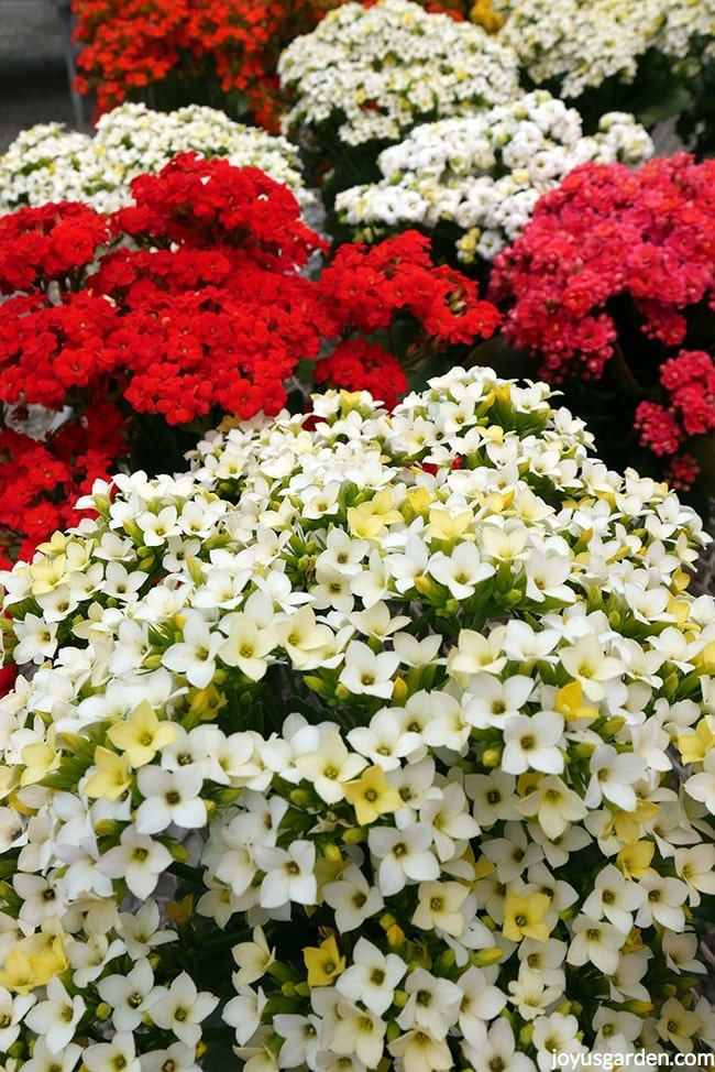 many kalanchoe plants with red & white flowers