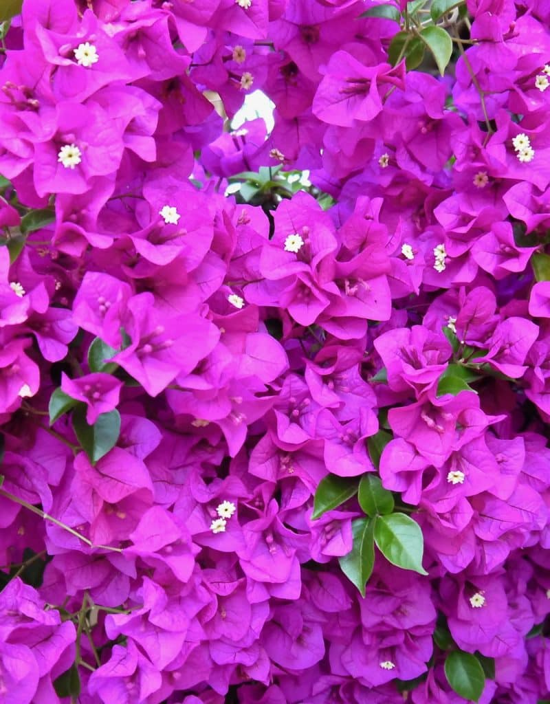 Bougainvillea Care & Growing Tips