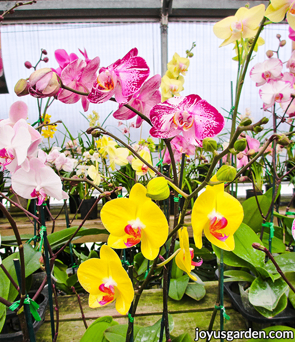 phalaenopsis moth orchids growing in a greenhouse with yellow pink & white flowers