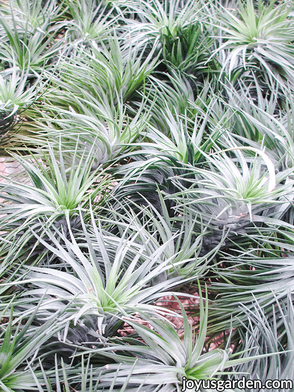 close up of many silver/green air plants