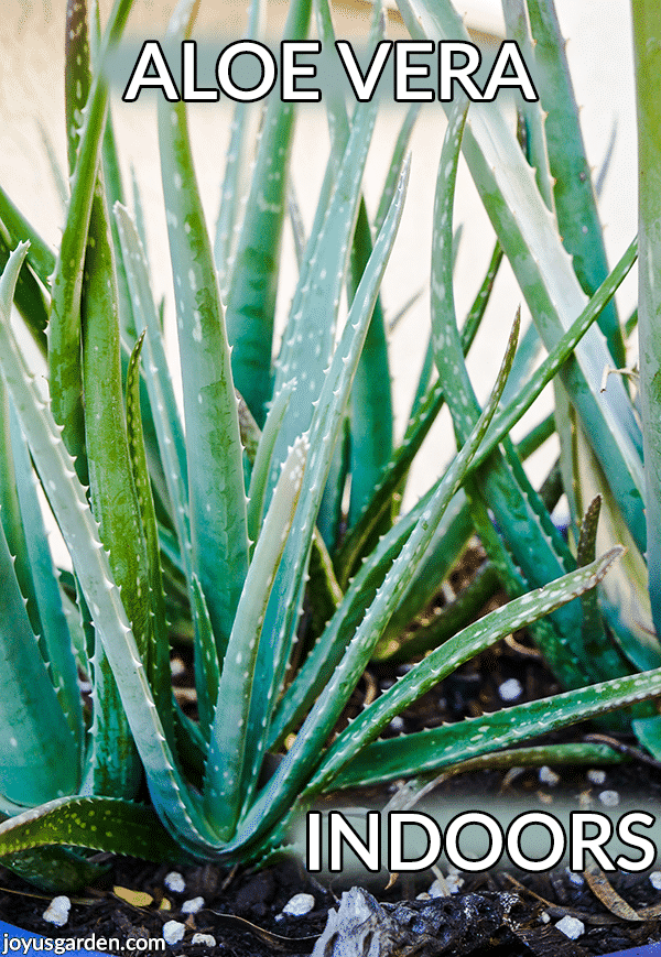 Growing Aloe Vera Indoors: 5 Reasons Why You May Be Having Problems