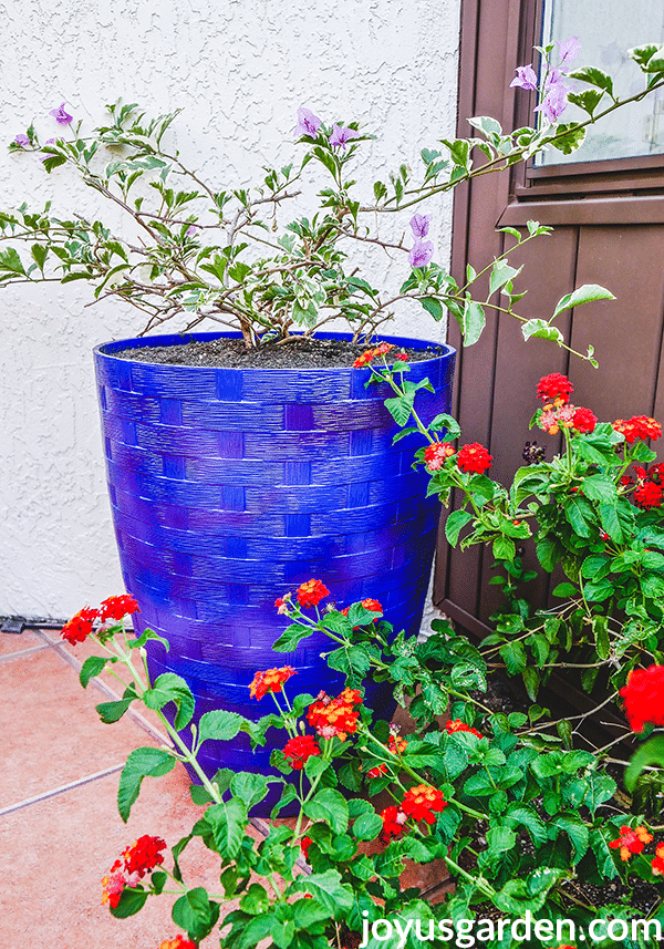 a variegated bougainvillea grows in a tall blue pot next to red lantana