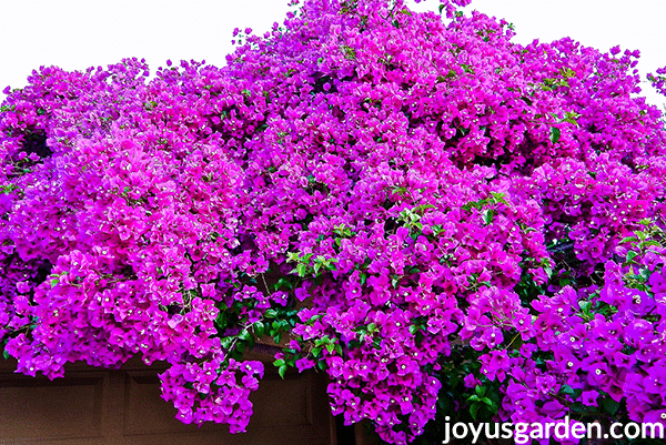 bright magenta bougainvillea in massive bloom