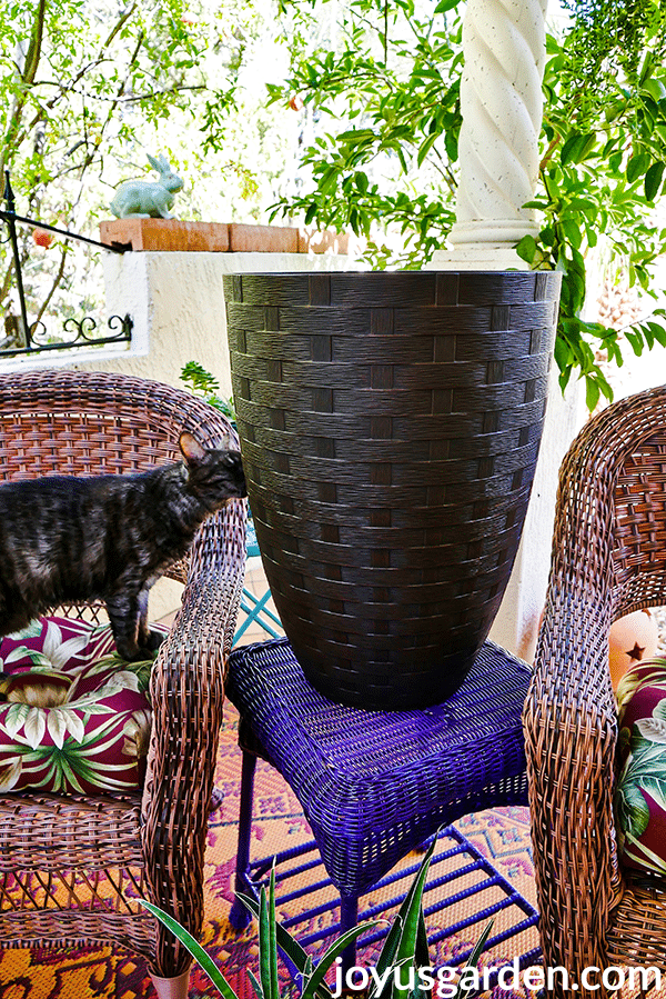 a tall brown pot sits outside on a purple table a grey kitty is sniffing the pot