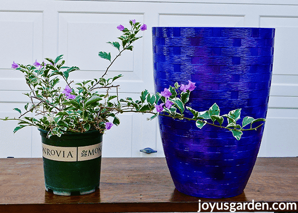 a green and white variegated bougainvillea with lavender flowers sits next to a tall blue urn pot on a table
