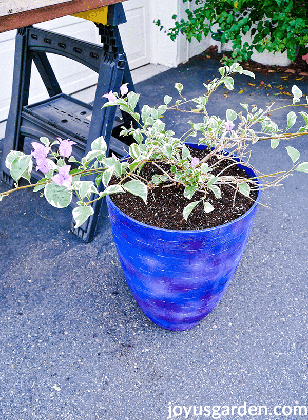 a green and white variegated bougainvillea with lavender flowers is planted in a tall blue pot